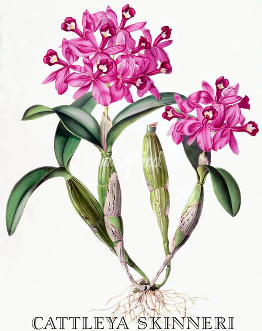 516x650 Cattleya Skinneri Orchid Botanical Illustration By Orchids Of Mexico