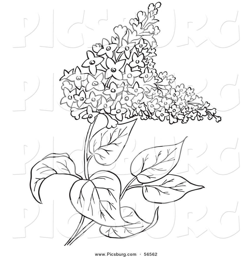 1024x1044 Clip Art Of A Outlined Lilac Flower Plant On White By Picsburg