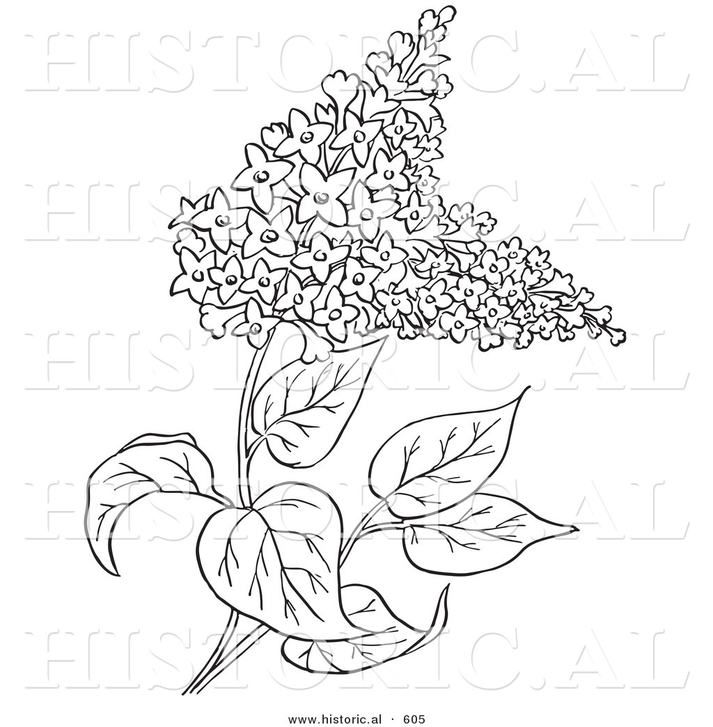1024x1044 Historical Vector Illustration Of Lilac Flowers