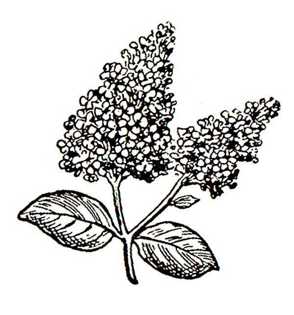 600x641 16 Best Gumpaste Fondant Lilacs Images On Sugar