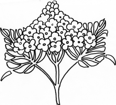 385x350 Flower Page Printable Coloring Sheets Syringa Lilac Flower