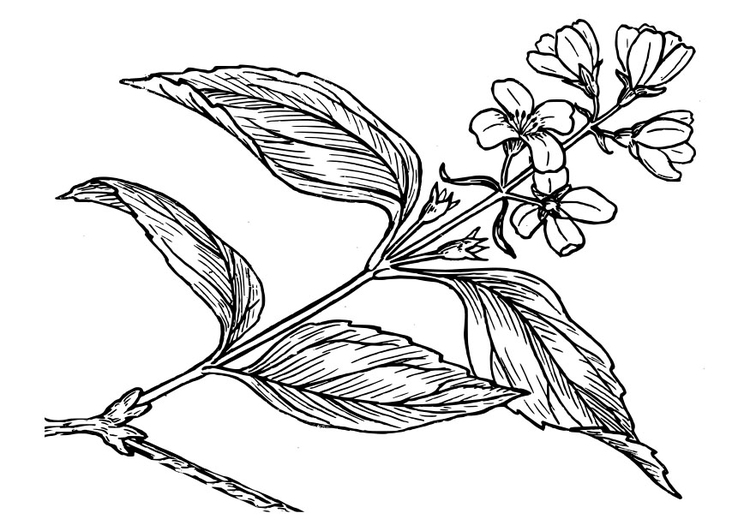 750x531 Coloring Page Lilac