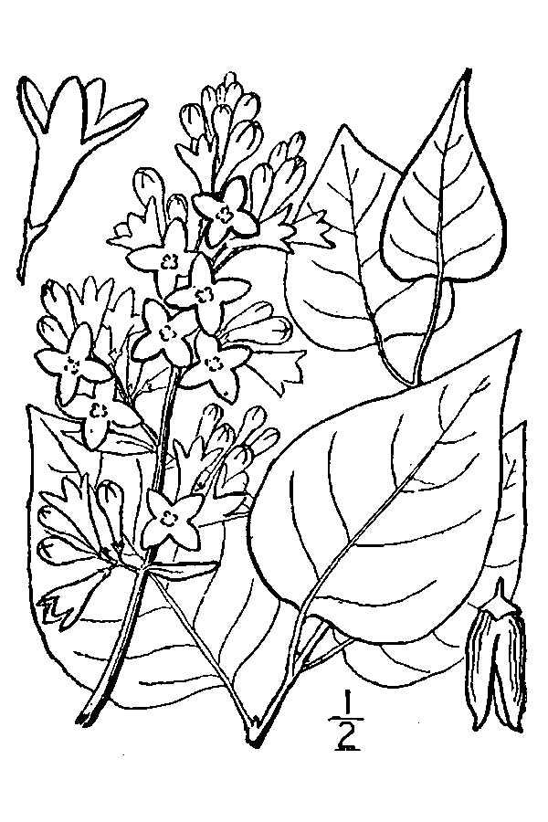 600x900 Large Image For Syringa Vulgaris (Common Lilac) Usda Plants
