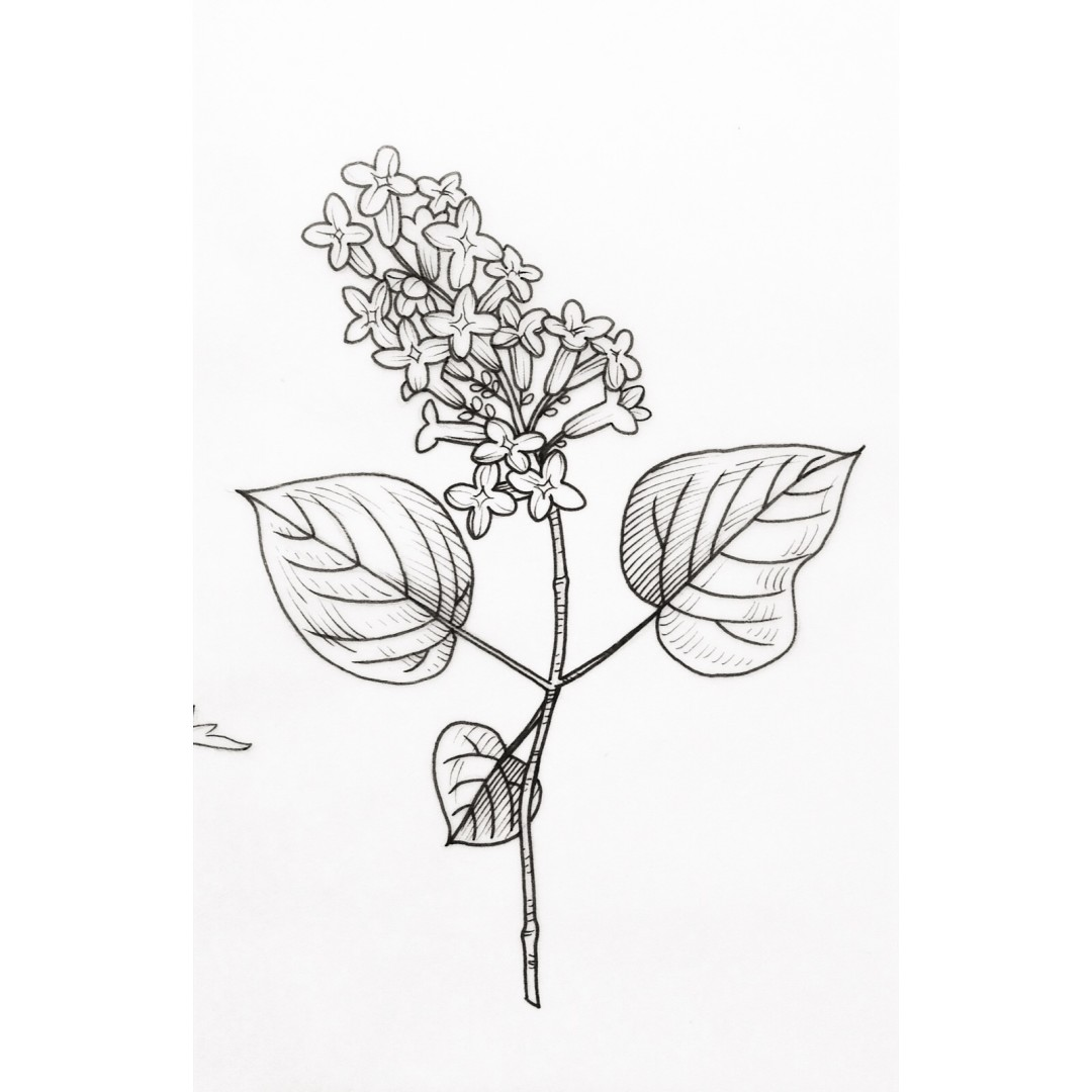 1080x1080 Lilac By Alex Cfourpo