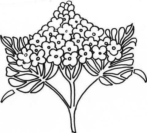480x436 Syringa Lilac Flower Coloring Page Free Printable Coloring Pages