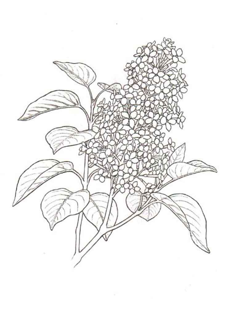 750x1000 Lilac Flower Coloring Pages Download And Print