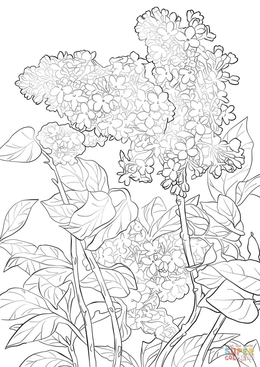1020x1440 Purple Lilac Coloring Page, Syringa Lilac Flower Coloring Page