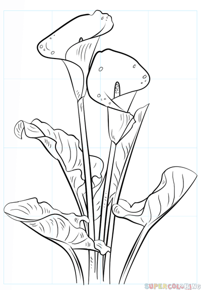 399x575 How To Draw A Calla Lily Step By Step Drawing Tutorials