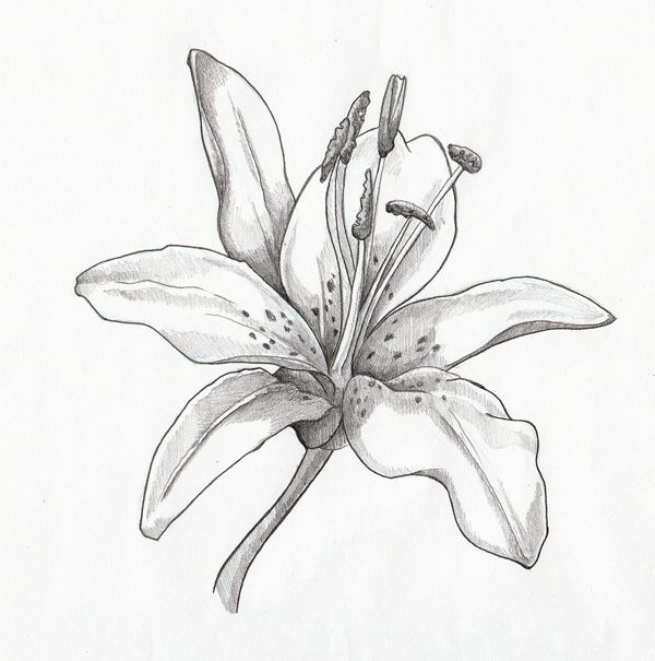 600x605 Pencil Illustration Day Lilly Lilies Drawing In Pencil Picture