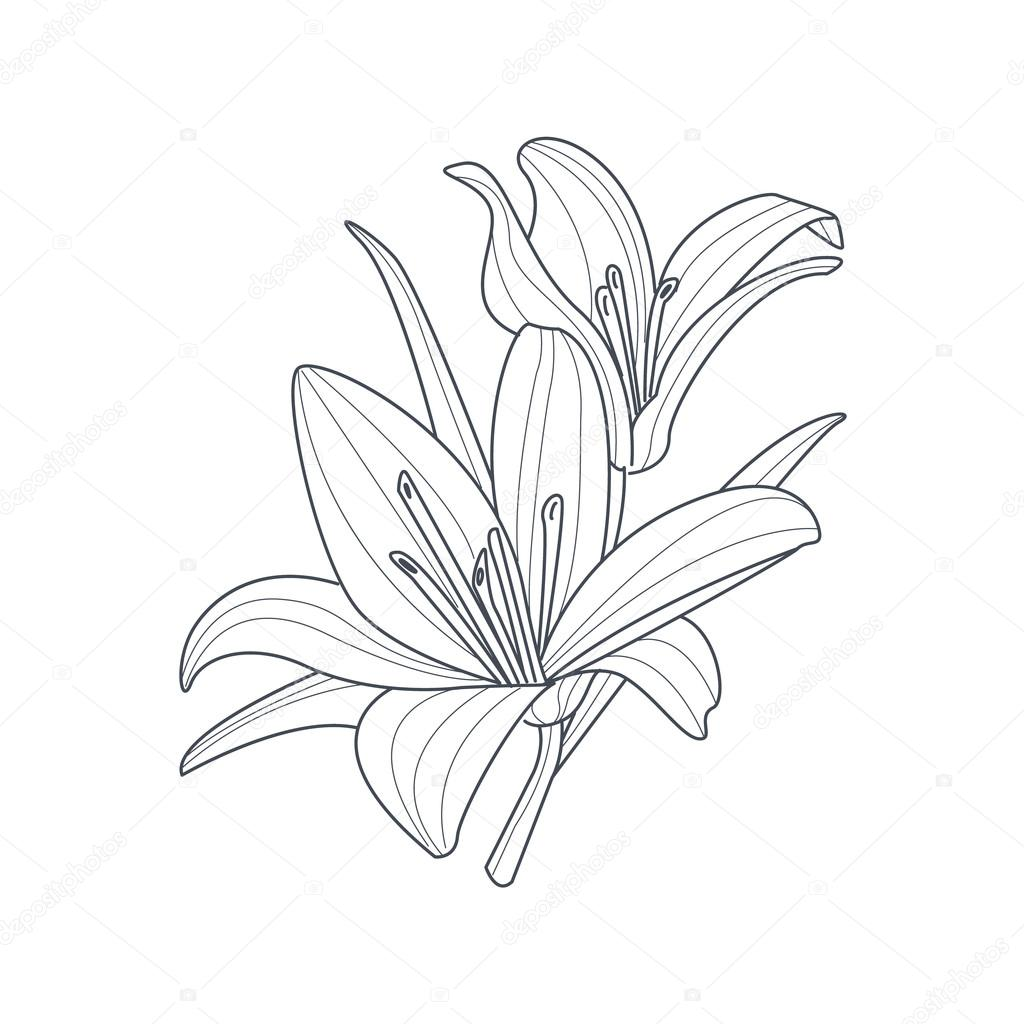 1024x1024 Two Lilies Flower Monochrome Drawing For Coloring Book Stock