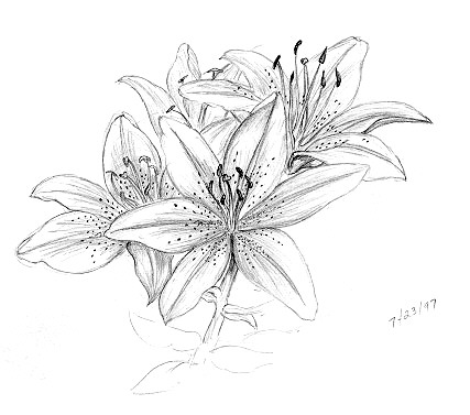 427x377 Lily Flowers Drawings Pencil {Embroidery} Patterns ~ Flowers
