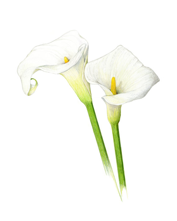 570x713 Calla Lilies Archival Print Of My Colored Pencil Drawing