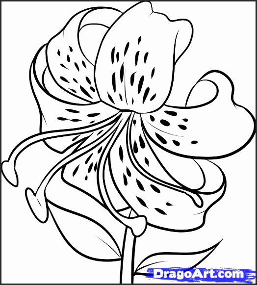 524x581 Drawings Of Lilies Flower En4ja Beautiful How To Draw A Tiger Lily