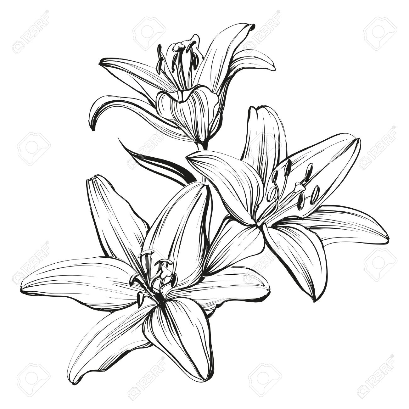 1300x1300 Floral Blooming Lilies Hand Drawn Illustration Sketch Royalty Free