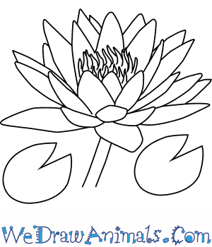 300x350 How To Draw A Water Lily Flower