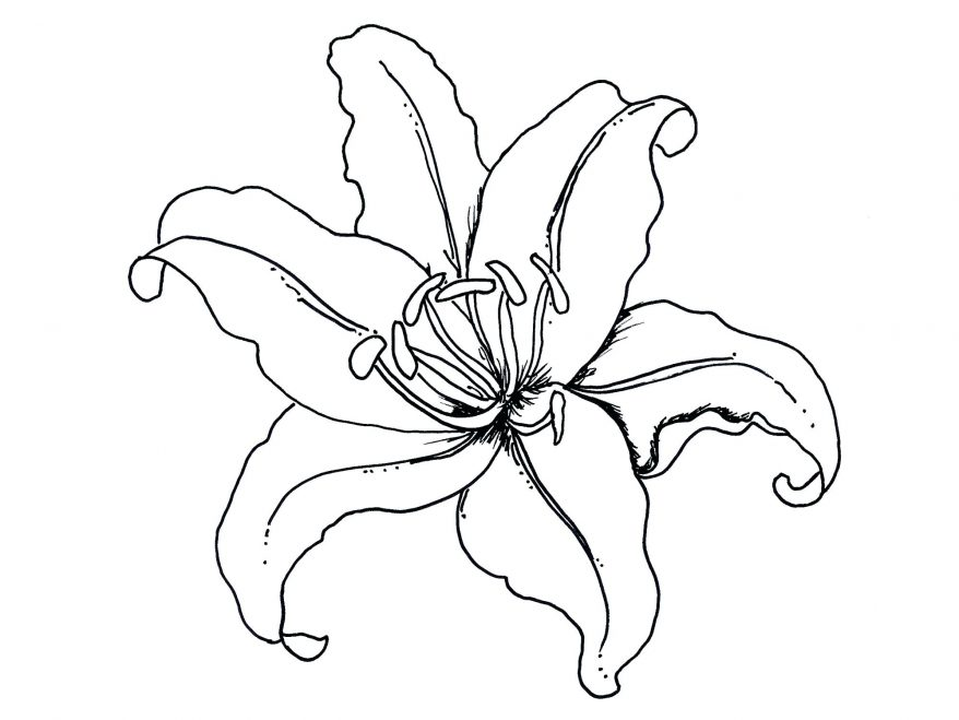 878x659 Lily Flower Coloring Pages 128 Extraordinary Outline Calla Lily