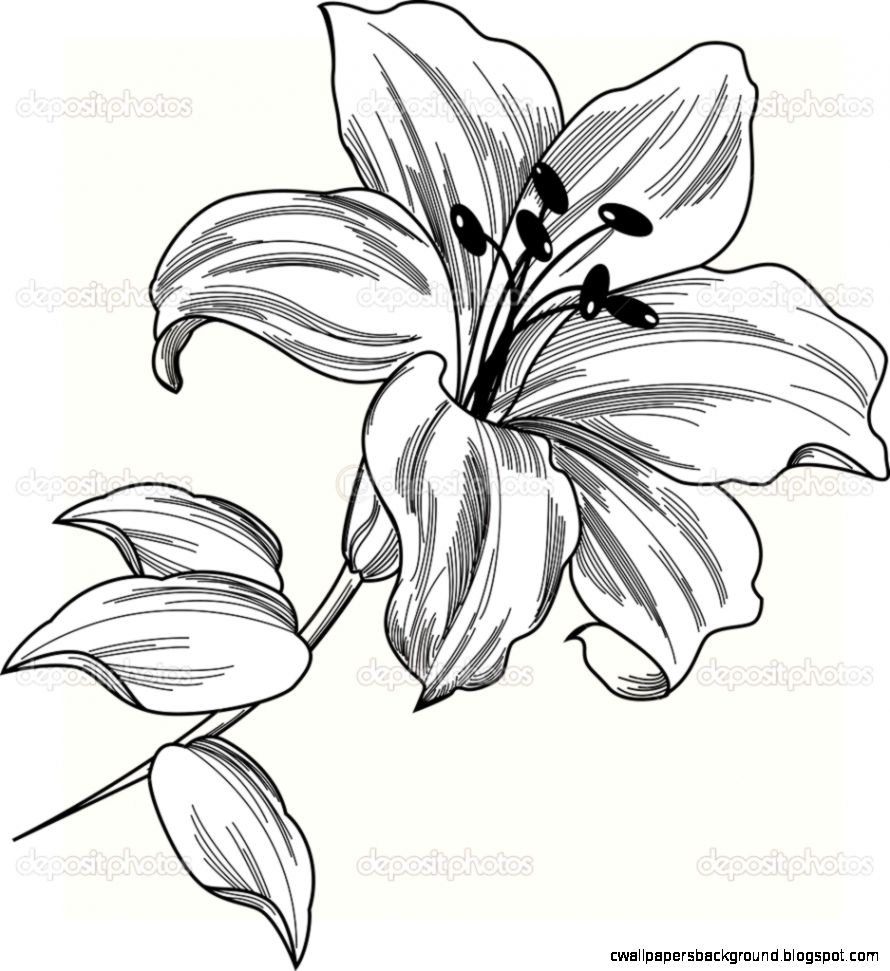 890x971 Lily Flower Drawing Lily Flower Drawing Outline Wallpapers