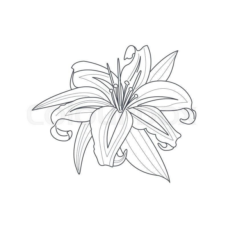 800x800 Lily Flower Monochrome Drawing For Coloring Book Hand Drawn Vector