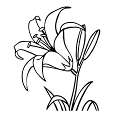 Lilly Flower Drawing