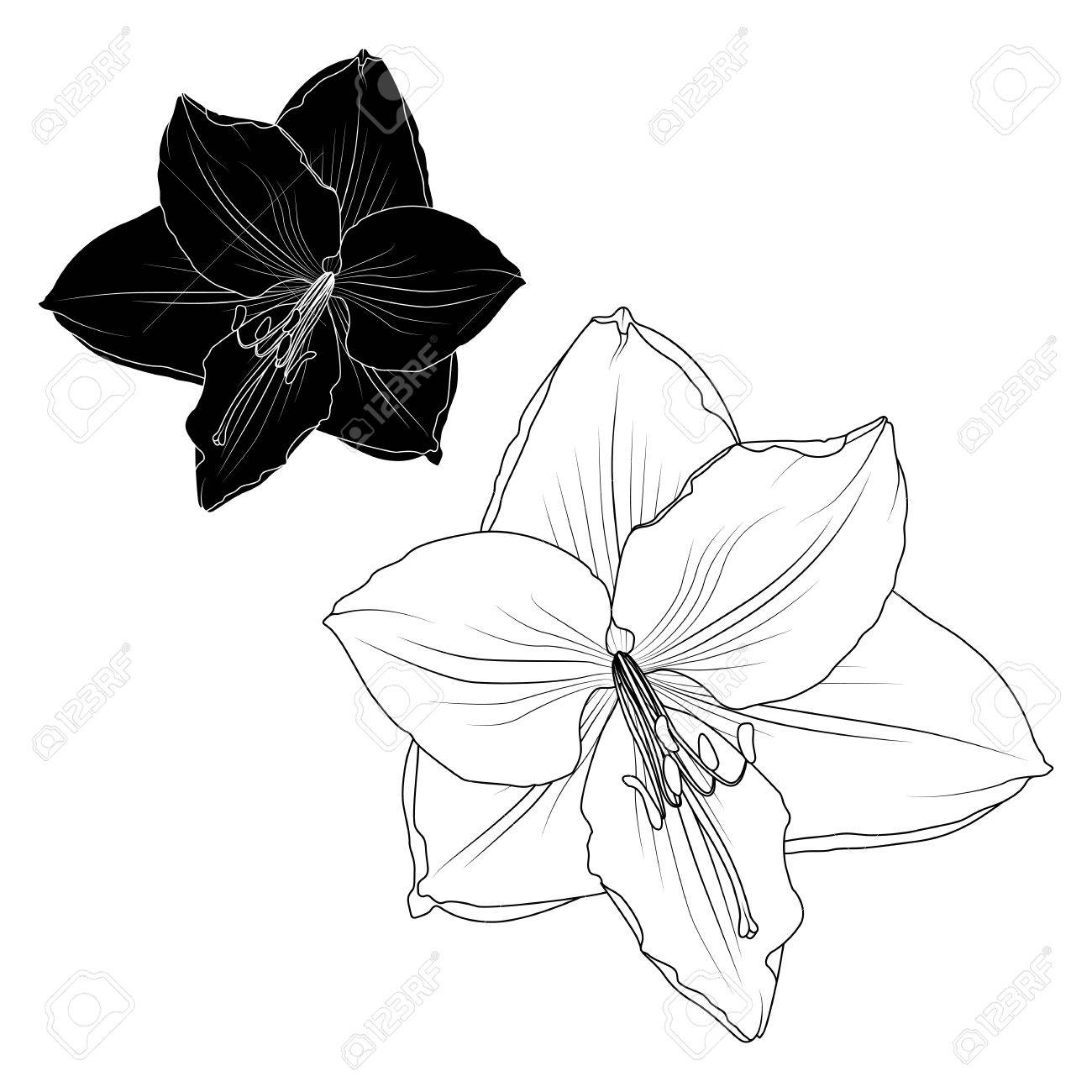 1300x1300 Amaryllis Hippeastrum Lilly Flower Black And White Isolated