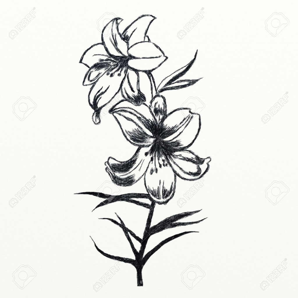 1024x1024 Flower Drawing In Pencil Lily Lily Flower Pencil Drawing Pencil