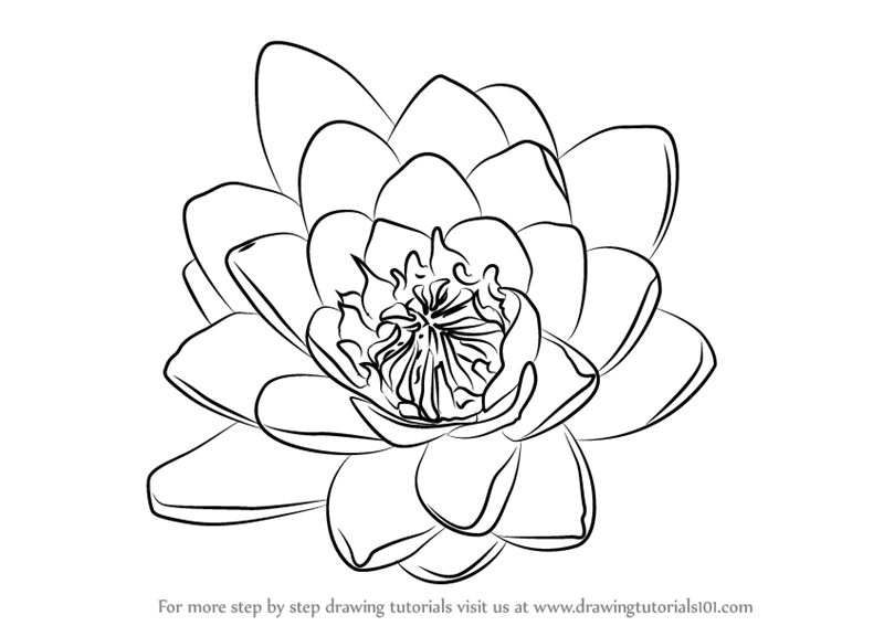 800x567 Learn How To Draw Water Lily Flower (Lily) Step By Step Drawing