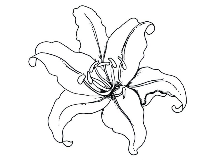 878x659 Beautiful Lily Flower Coloring Pages 53 Astonishing Outline