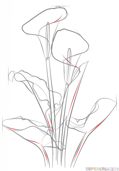 399x575 How To Draw A Calla Lily Step By Step. Drawing Tutorials For Kids