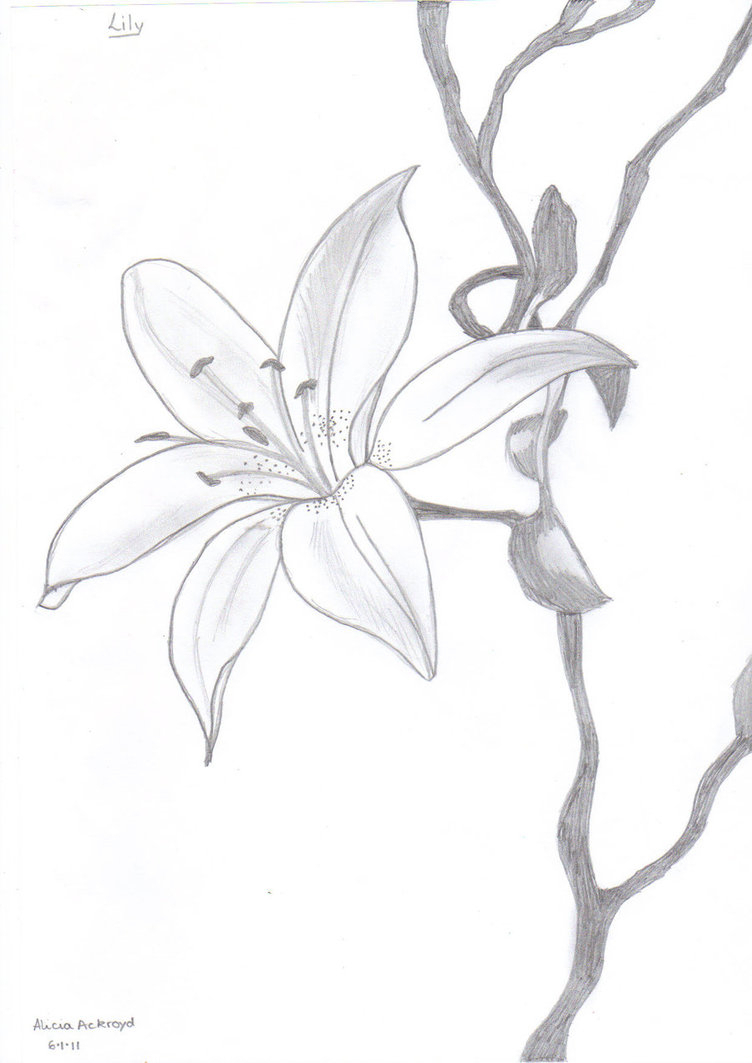 752x1063 Lily Drawings In Pencil