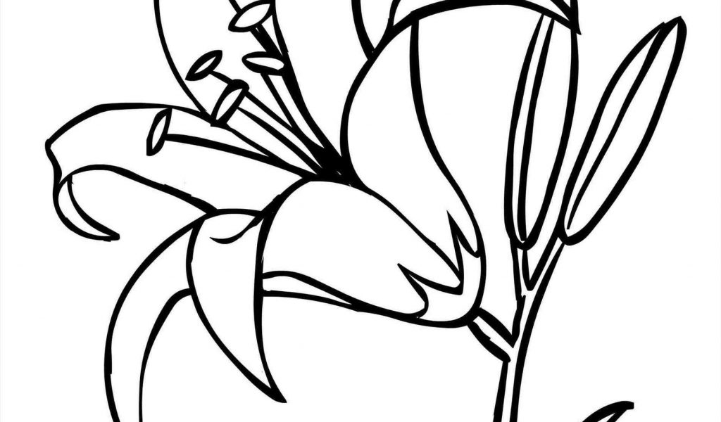 1024x600 Lily Flower Drawing Tiger Lily Drawing