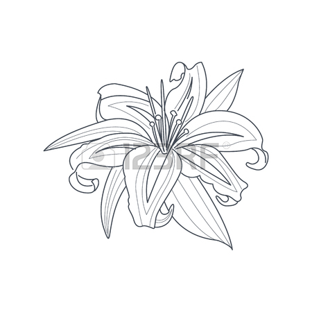 450x450 Lily Flower Monochrome Drawing For Coloring Book Royalty Free