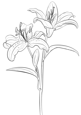 337x480 Tiger Lily Coloring Page Free Printable Coloring Pages