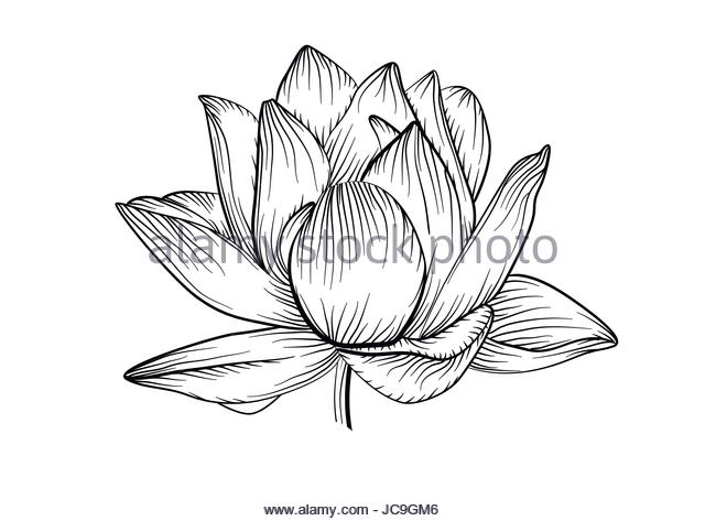 640x473 Water Lily Flower Stock Vector Images