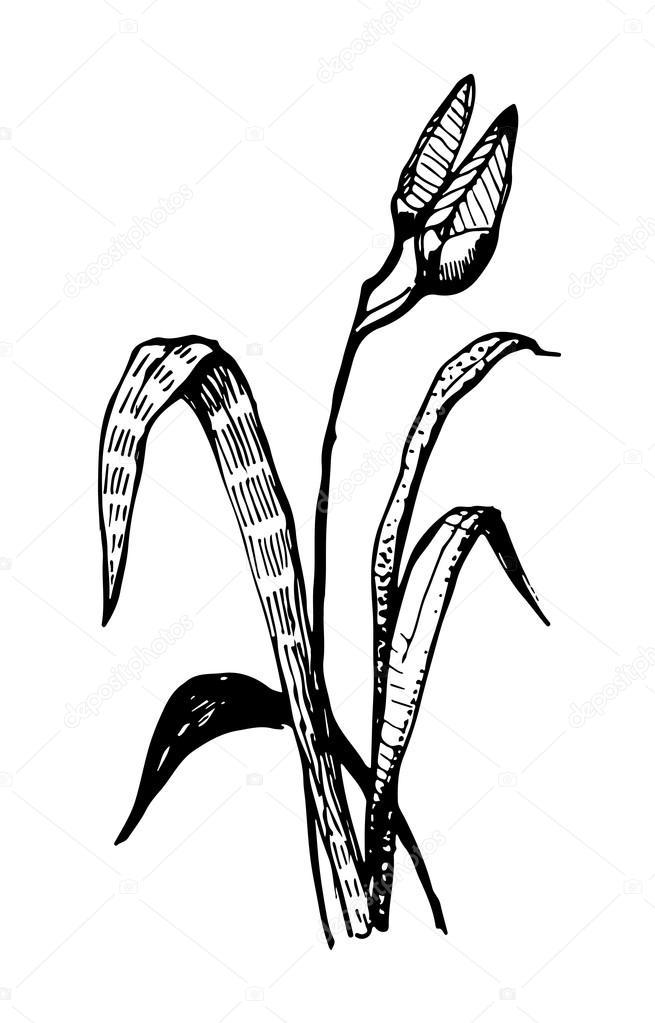 655x1023 Vector Lily Flower Ink Sketch Graphics Stock Vector Artex67