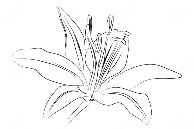 618x412 Coloring Astonishing Lily Outline. Lily Outline Free. Calla Lily