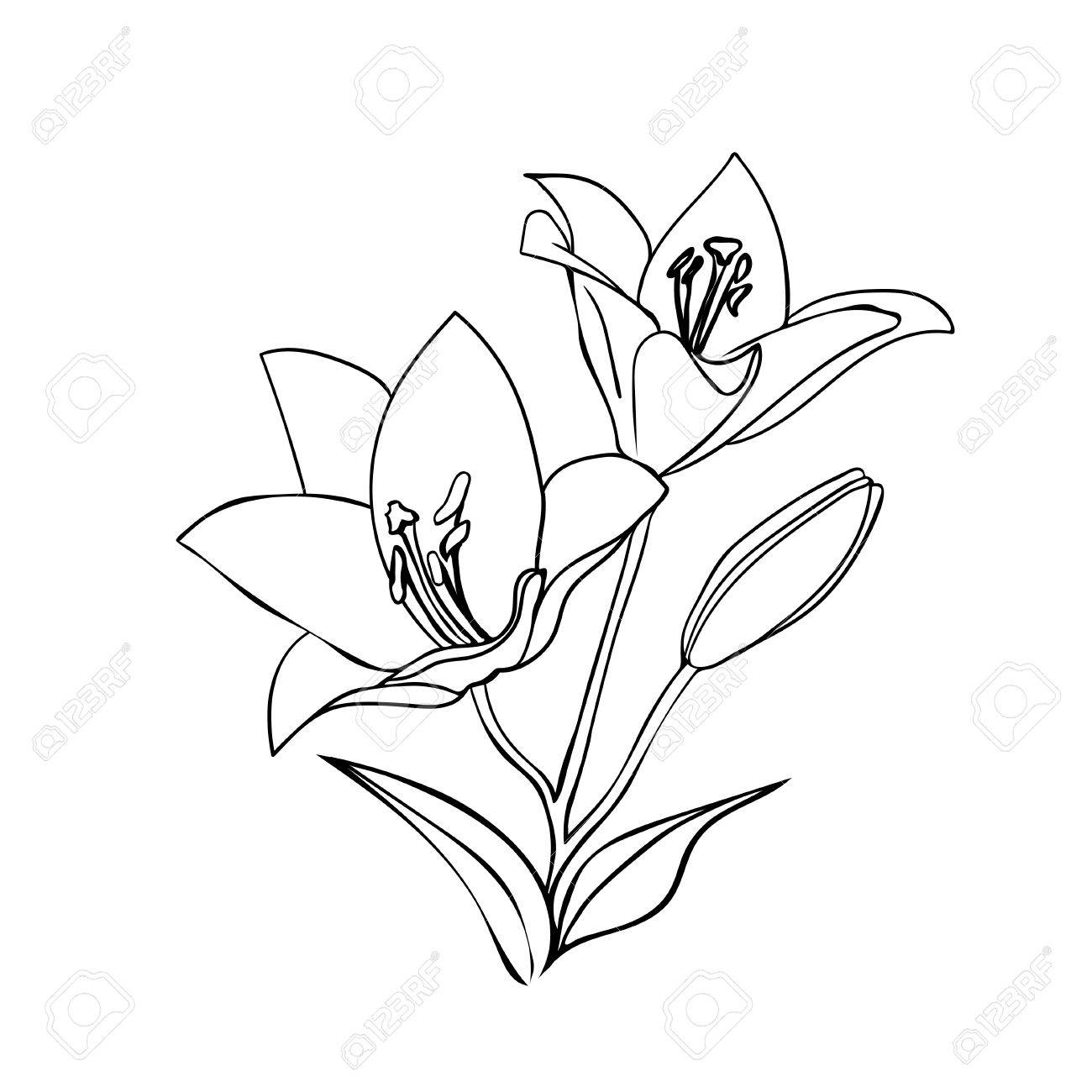 1300x1300 Lily Sketch. Black Outline On White Background. Vector