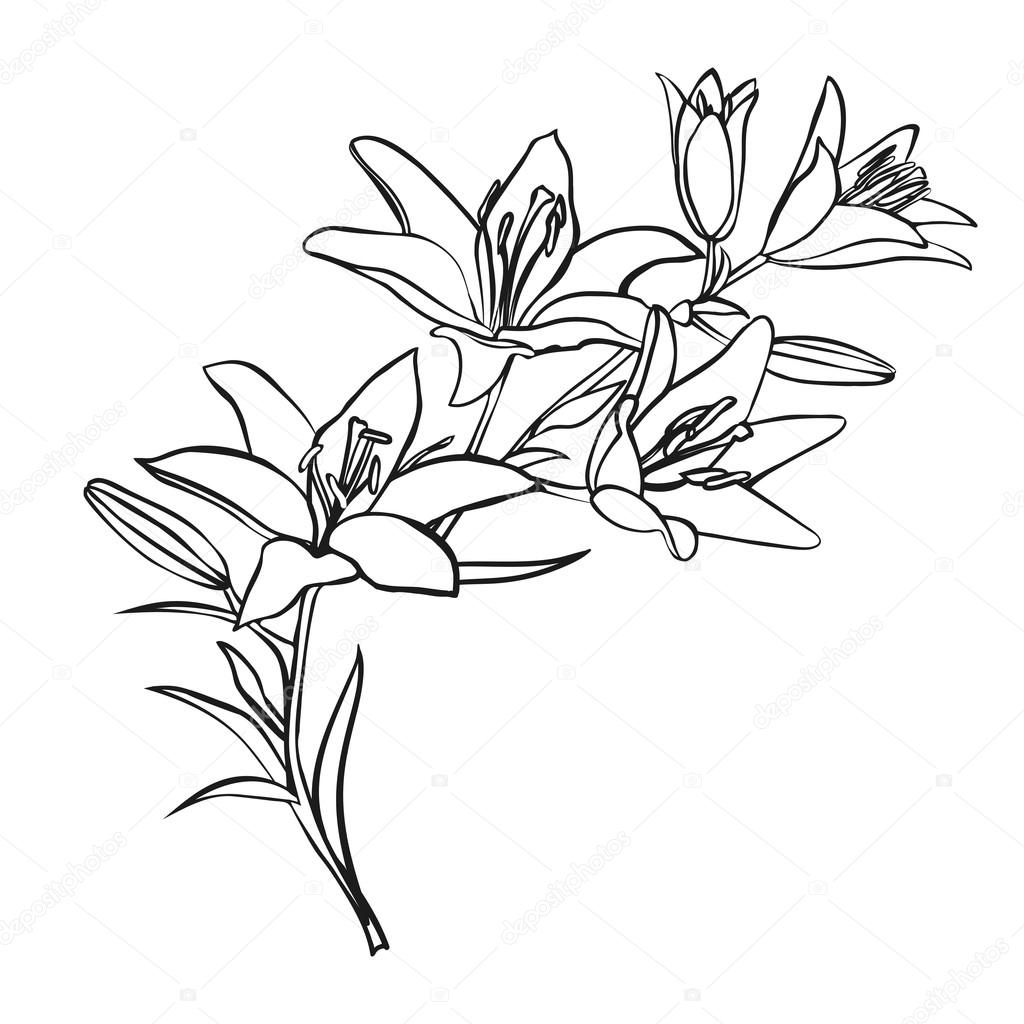 1024x1024 Lily Sketch On White Background. Stock Vector Likka