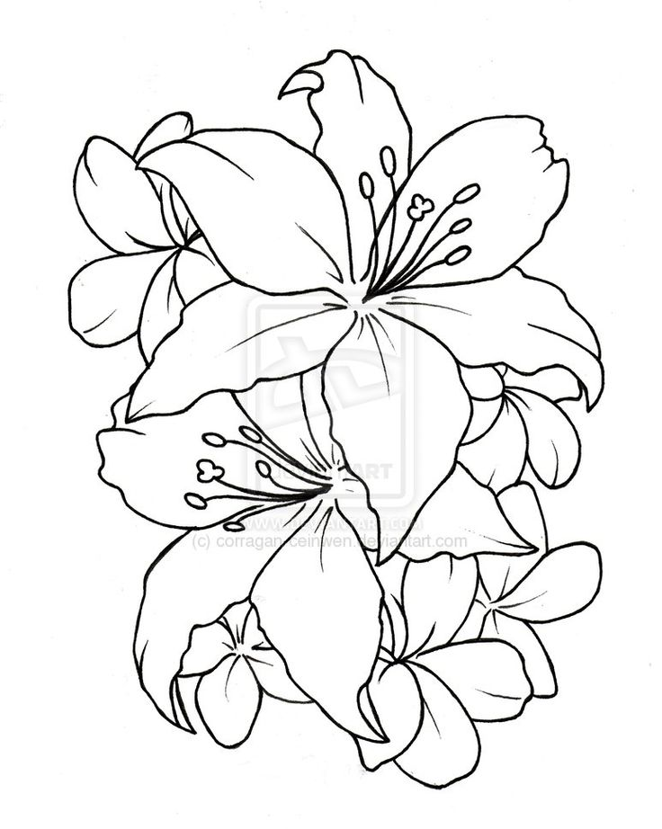 736x922 Outline Lily Flower Tattoos Design