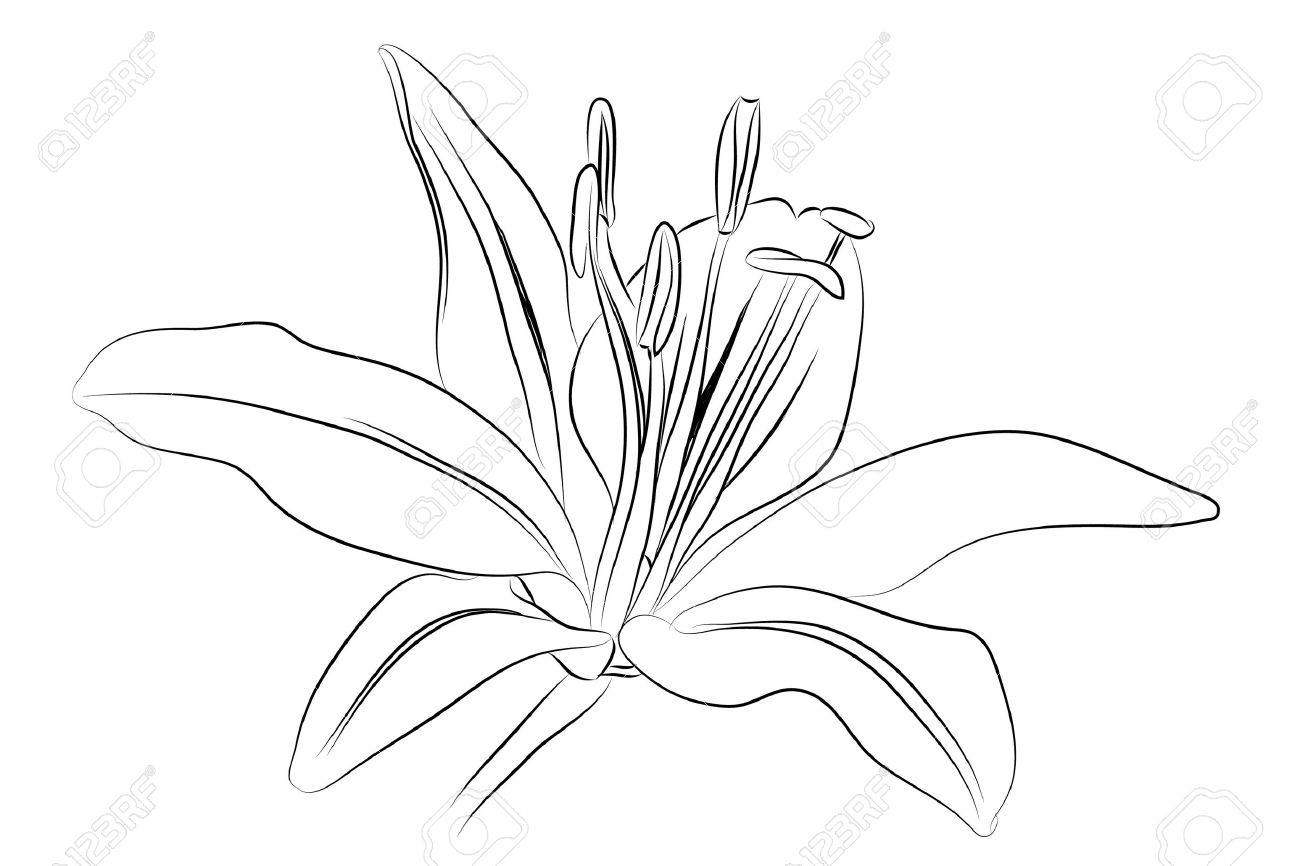1300x866 Outline Lily Royalty Free Cliparts, Vectors, And Stock