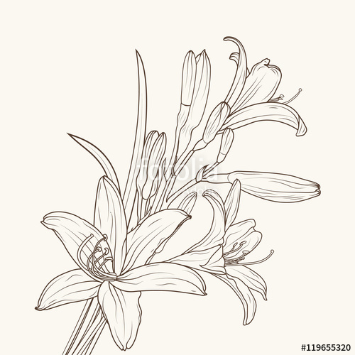 500x500 Day lily clip art Lily Flower Drawing Outline