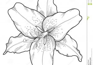 300x210 How To Draw A Tiger Lily Step By Step Flowers Pop Culture. Cool