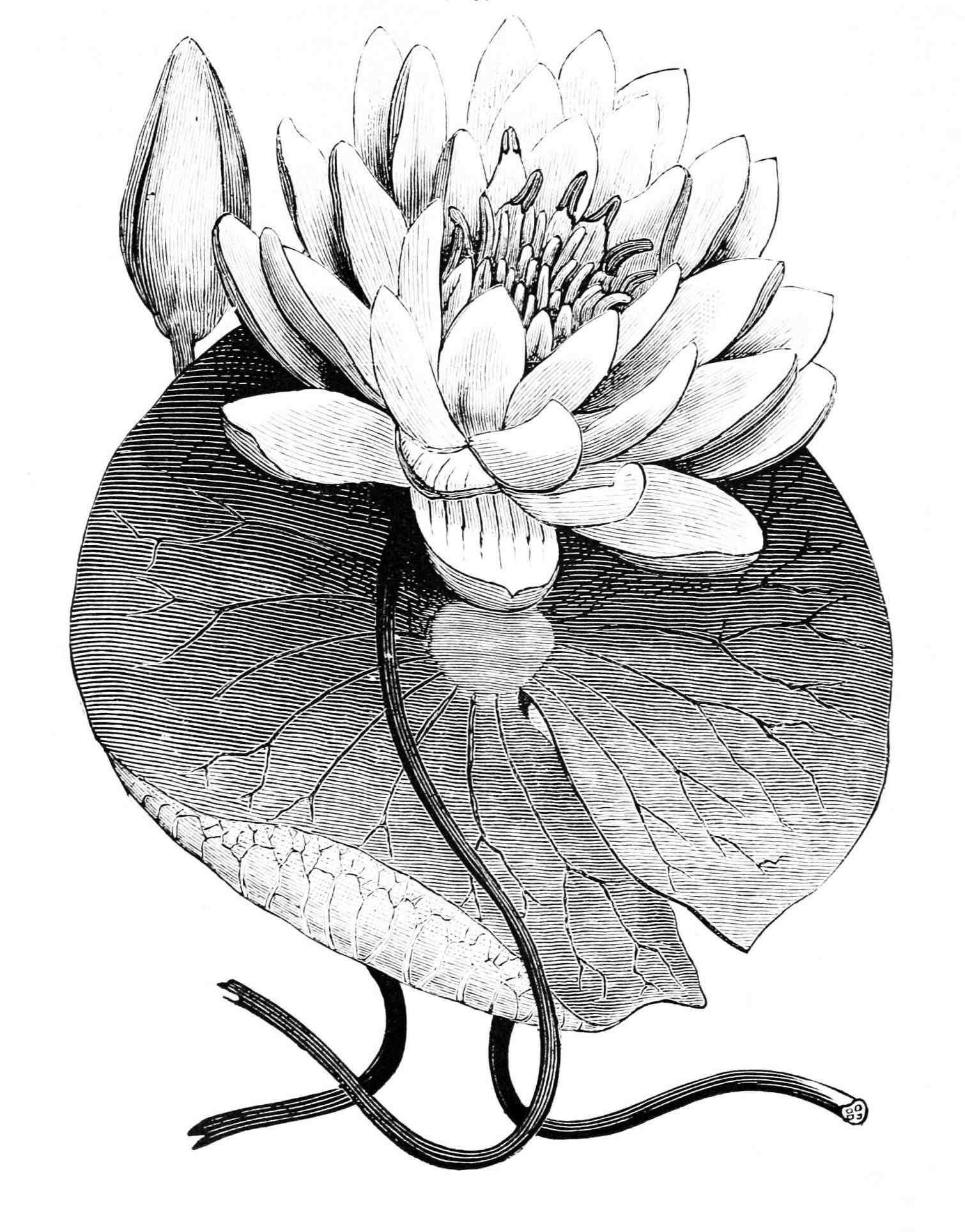 Lily drawing tattoo at getdrawings free for personal use lily 1510x1928 lily pad coloring image water lily drawing clock brucius izmirmasajfo