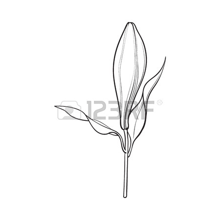 450x450 Single Hand Drawn White Lily Flower Bud With Stem And Leaves