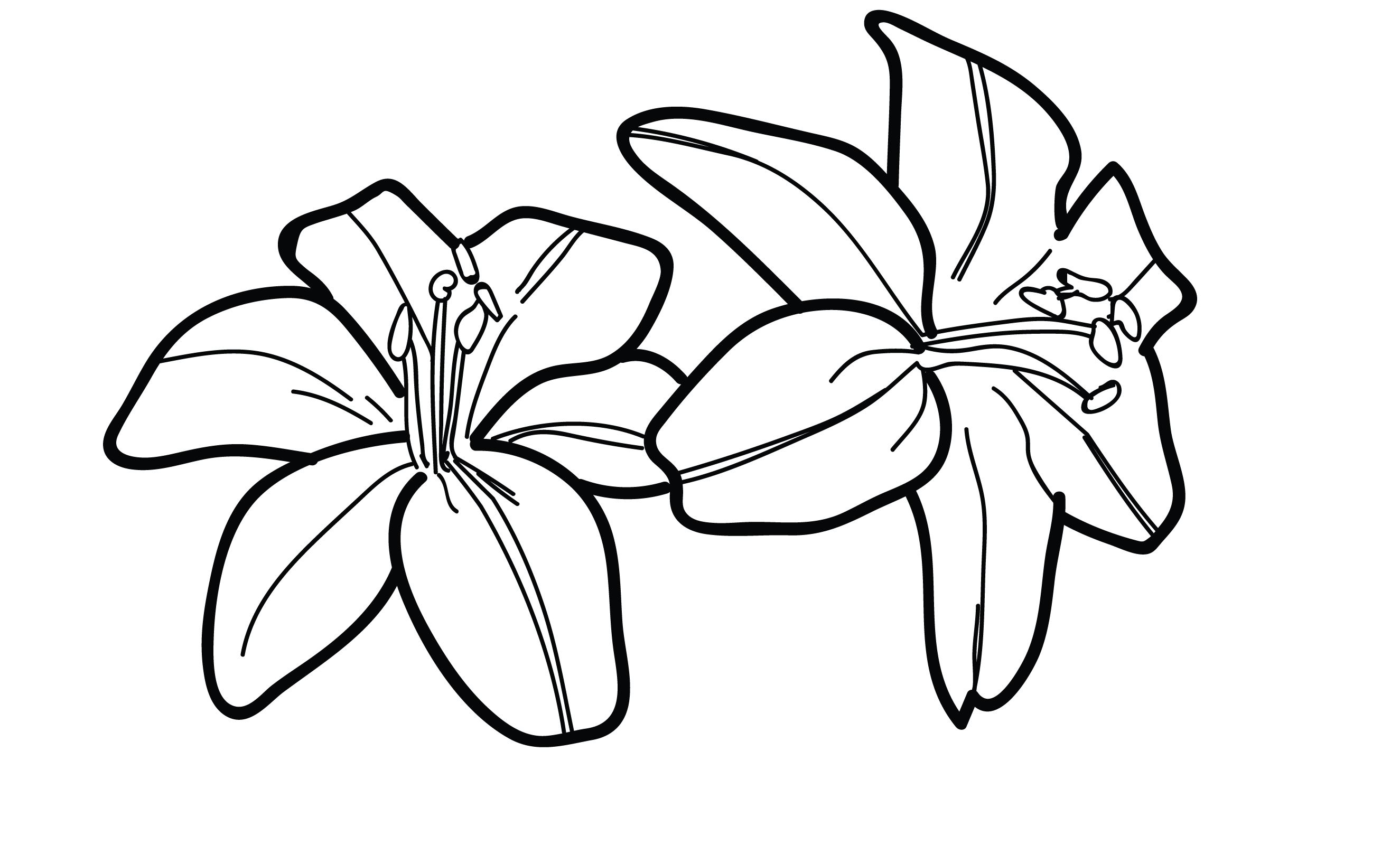 Lily flower drawing pictures at getdrawings free for personal 2650x1600 tiger lily flower drawing lilies sketch bouquet idea on izmirmasajfo Images