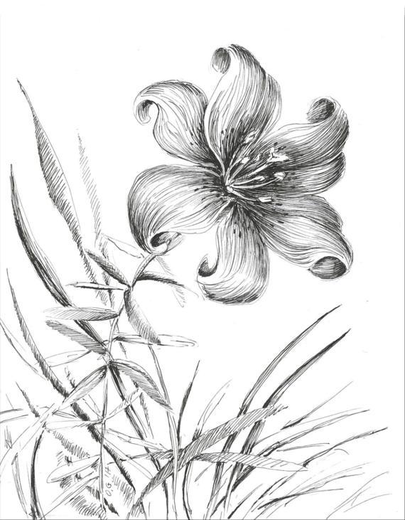 570x731 Tiger Lily Sketch Floral Illustration Flower Drawing Black