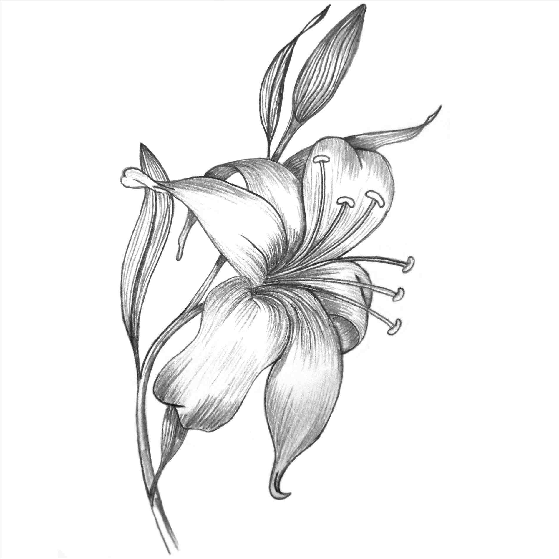 1899x1899 Lily Flower Pencil Drawing Color
