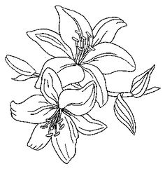 Lily Flowers Drawing