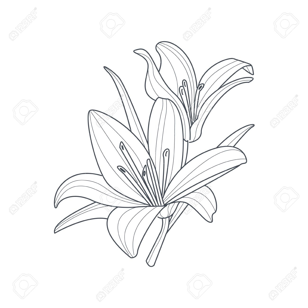 1300x1300 Simple Lily Drawing