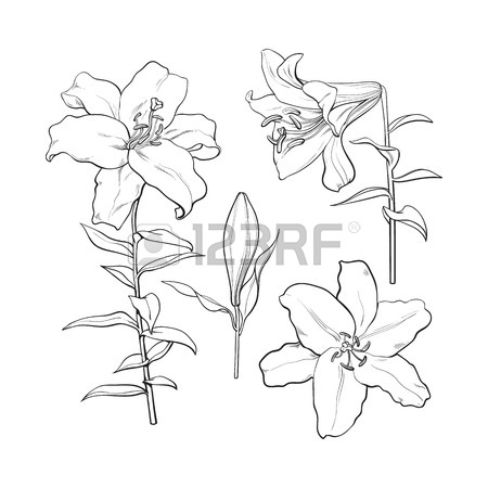 450x450 Single Hand Drawn White Lily Flower With Stem And Leaves, Front