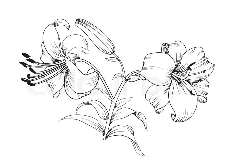 800x571 Two Lily Flowers. Floral Background With Blooming Lilies Isolated